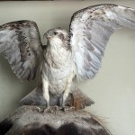 Taxidermy osprey at the museum